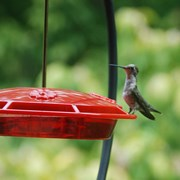 FirstNature_Hummer_Nectar_N