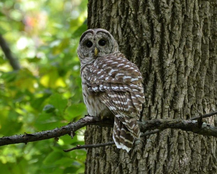 Barred_Owl_Mike_Horn_Columbus_OH_081812