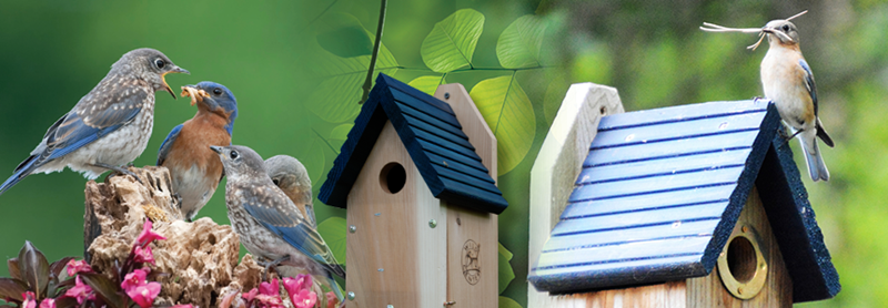 Easy To Spot With Their Brilliant Blue Feathers, The Bluebird Is A Welcome  Sight To Any Backyard.