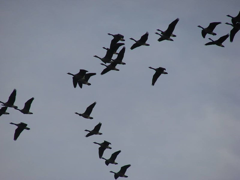 Canada_Geese_migrating_Shanna_Dennis_SLC_UT_101113