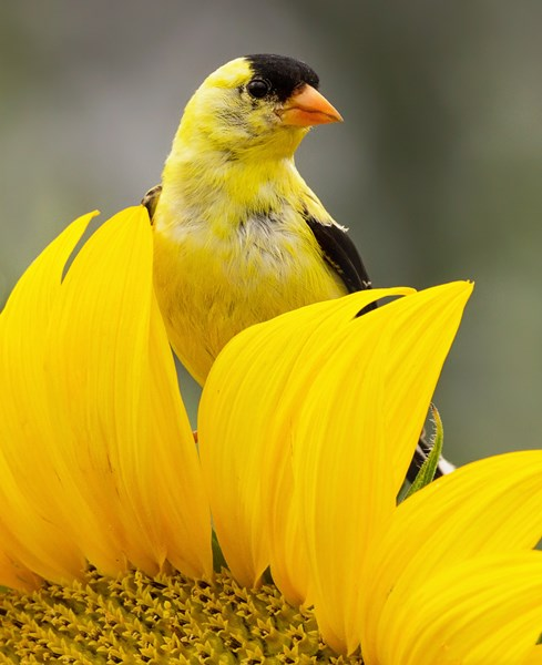 Goldfinch_Sunflower_shutterstock_713866882