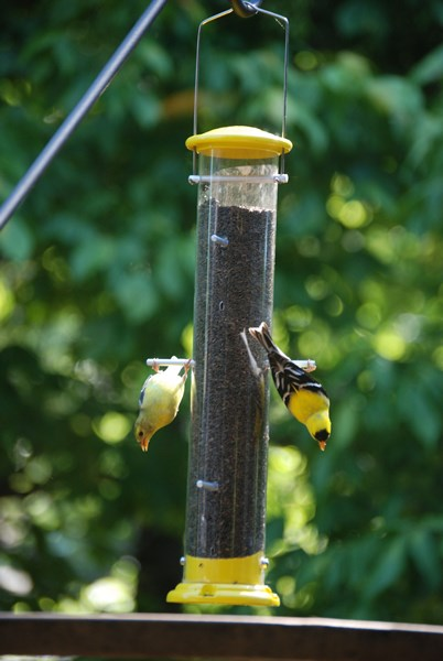 Goldfinch_pair_upsidedown_Anne_West_062712