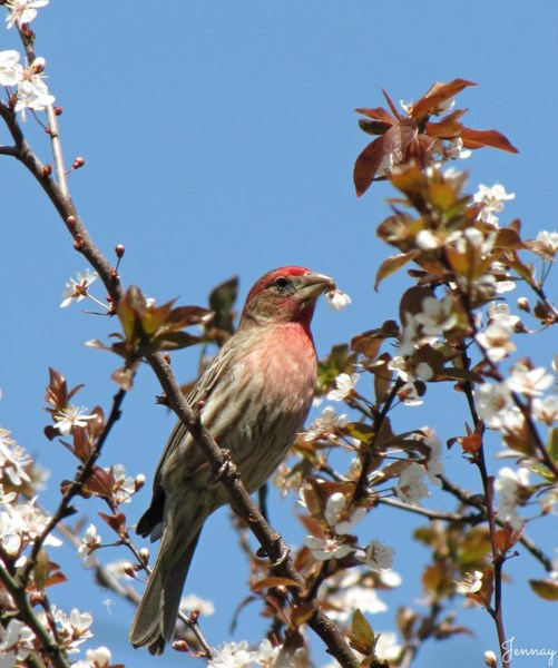 House_Finch_cherry_blossoms_Jennifer_Rector_Winston-Salem_NC_041713